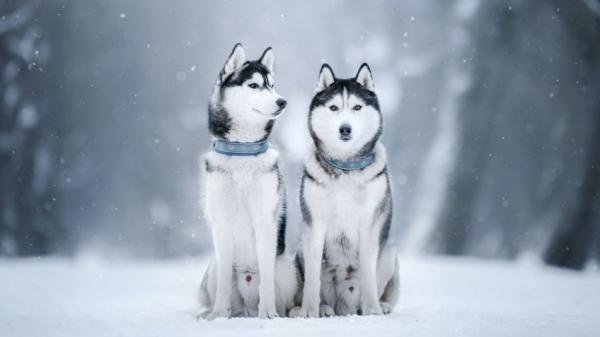 10 curiosités sur le husky sibérien