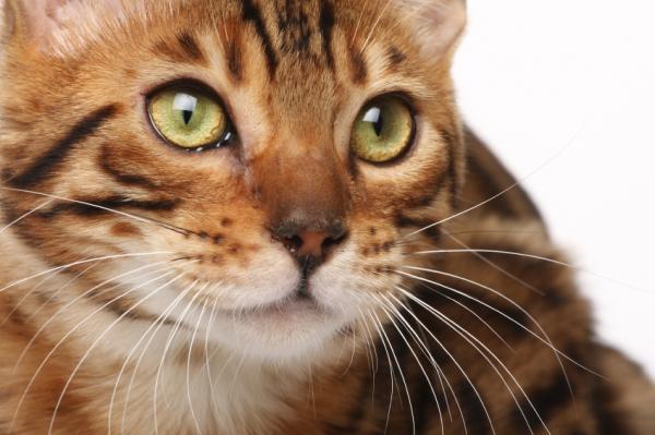 10 races de chats exotiques
