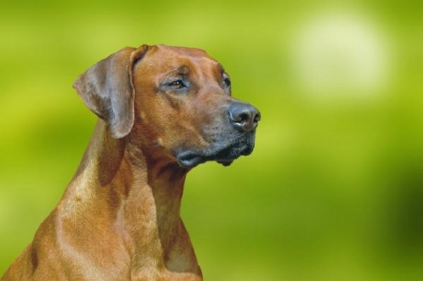 10 races de chiens africains