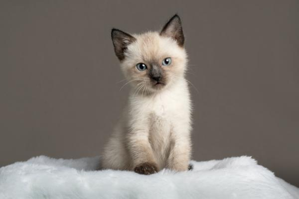 12 races de chats fins