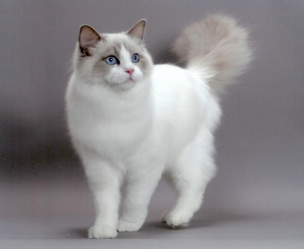 20 races de chats blancs