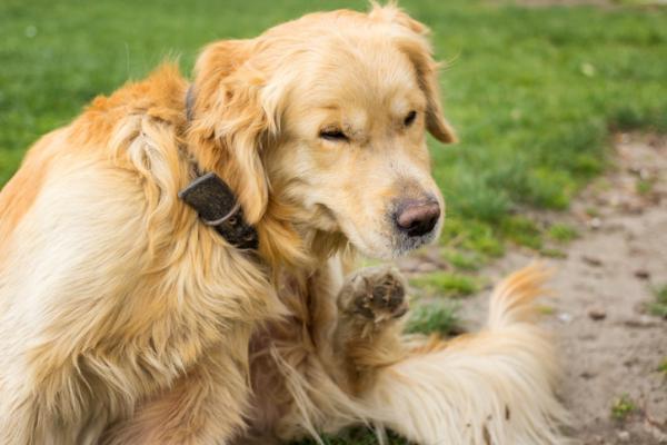 5 maladies qui transmettent les puces aux chiens