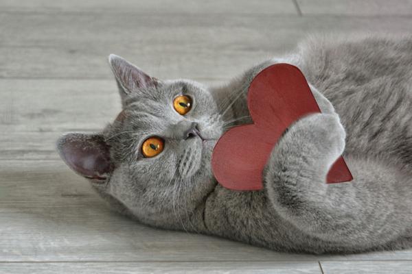 8 races de chats gris