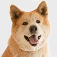 Akita Inu est-il un chien dangereux?