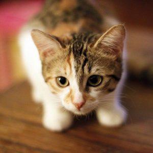 Allergie aux piqûres de puces chez les chats