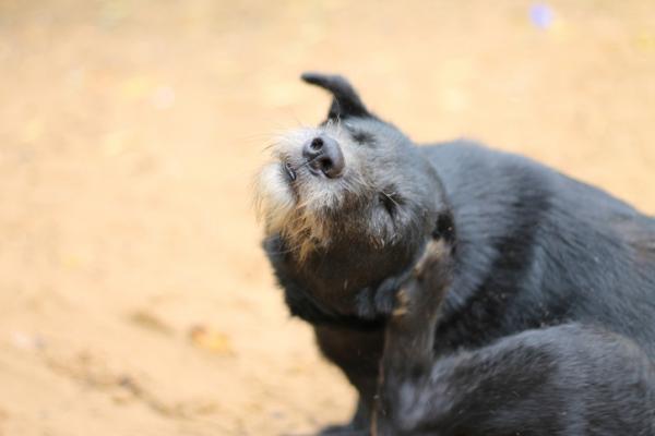 Allergie aux piqûres de puces chez les chiens