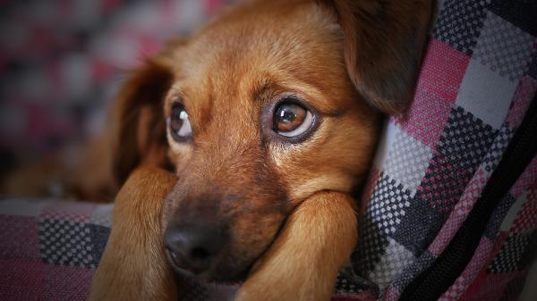 Anémie chez le chien - causes, symptômes et traitement