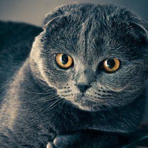 Asthme chez le chat - Symptômes et traitement