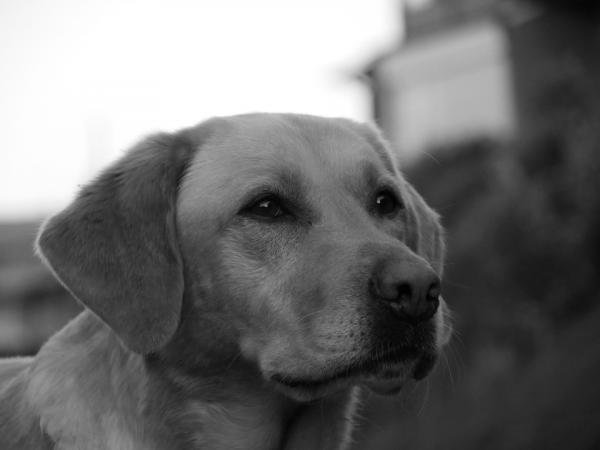 Bordetella chez les chiens - Symptômes et traitement