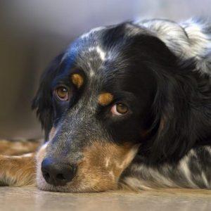 Cardiomyopathie Dilatée Canine - Symptômes et Traitement
