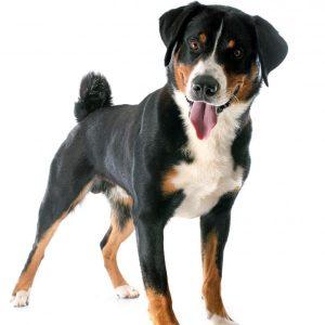 Chien Appenzeller ou chien d'Appenzell: caractéristiques et photos