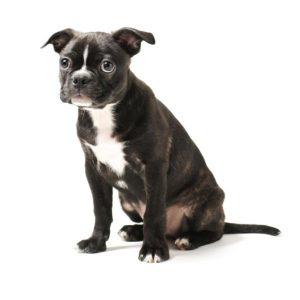 Chien Boston terrier: caractéristiques et photos