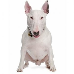 Chien Bull Terrier anglais: caractéristiques, photos et vidéos