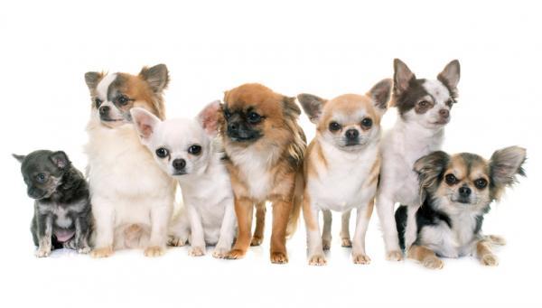 Chien Chihuahua: caractéristiques, photos et vidéos