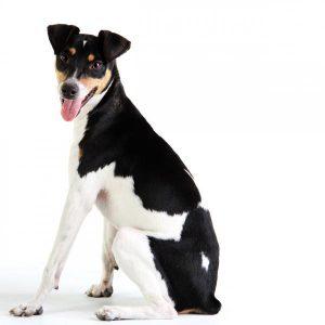 Chien Fox Paulistinha ou terrier brésilien: caractéristiques et photos