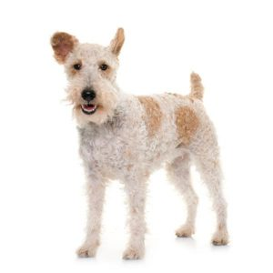 Chien Fox Terrier à poil dur: caractéristiques, photos et vidéos