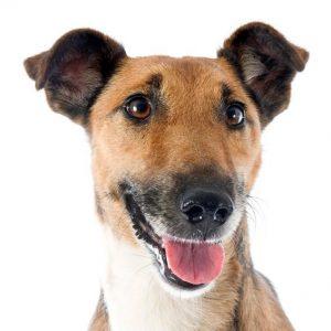 Chien Fox Terrier à poil lisse: caractéristiques, photos et vidéos