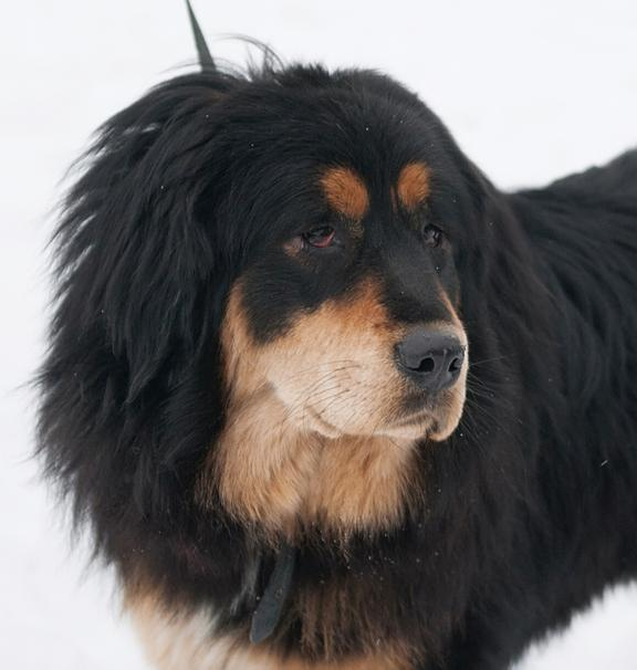 Chien Mastiff Tibétain ou Bulldog Tibet: caractéristiques, photos et vidéos