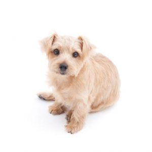 Chien Norfolk terrier: caractéristiques et photos