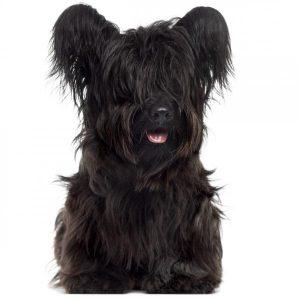 Chien Skye terrier: caractéristiques et photos