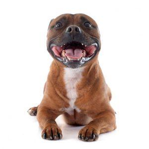 Chien Staffordshire Bull Terrier: caractéristiques et photos
