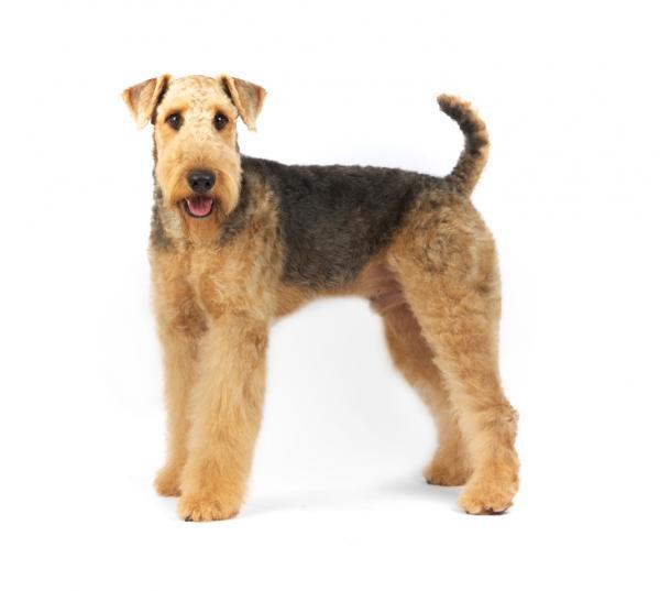 Chien Terrier Airedale: caractéristiques et photos