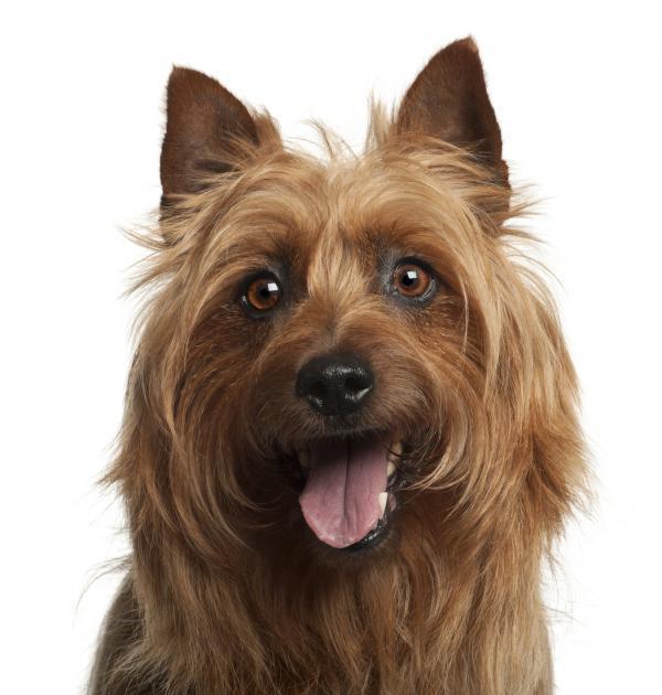 Chien Terrier australien: caractéristiques et photos