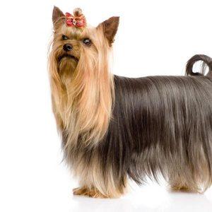 Chien Yorkshire Terrier: caractéristiques, photos et vidéos
