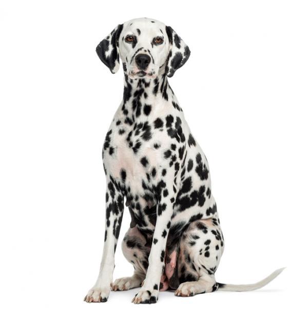 Chien dalmatien: caractéristiques, photos et vidéos