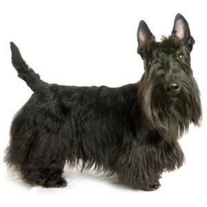 Chien terrier écossais: caractéristiques, photos et vidéos
