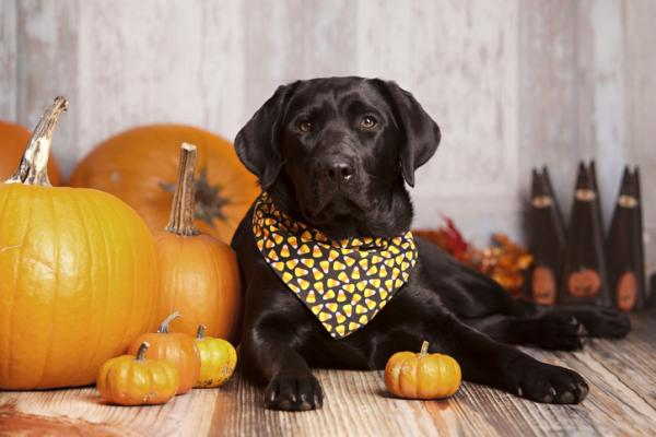 Citrouille pour chiens - Propriétés, avantages et posologie