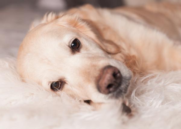 Colite chez les chiens - Symptômes et traitement