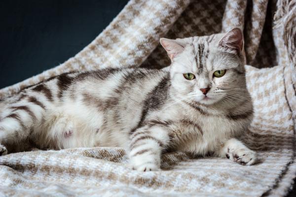 Combien de temps dure la grossesse d'un chat?