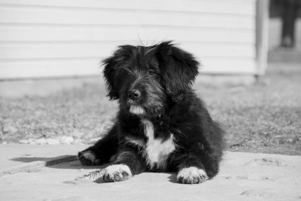 Combien de temps dure un chien atteint de cancer?