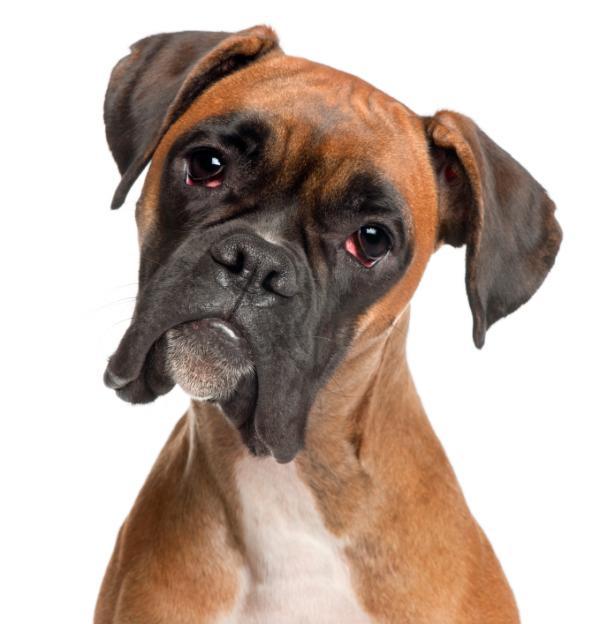 Comment former un chien boxer