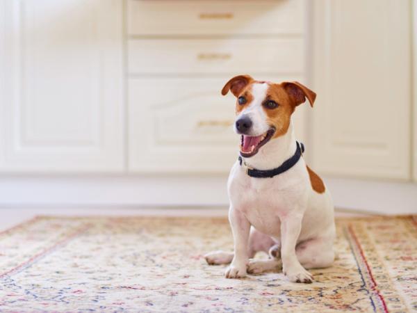 Comment habituer un chien adulte à être seul?