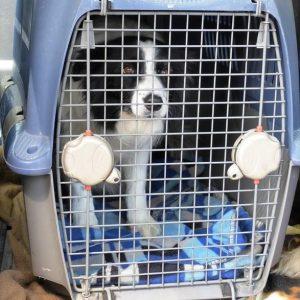 Conseils pour habituer votre chien à la cage de voyage