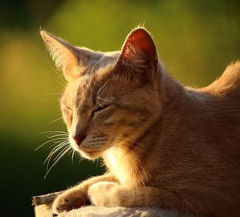 Coup de chaleur chez les chats - Symptômes et premiers secours