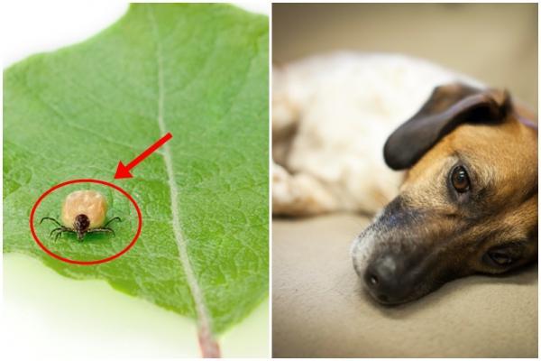 Ehrlichiose canine - Symptômes et traitement