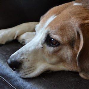 Entropion chez le chien - Causes, symptômes et traitement
