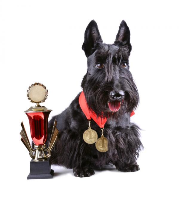 Exigences d'un concours de beauté canine en Espagne