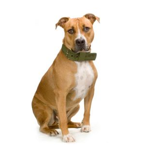 Former un American Staffordshire Terrier
