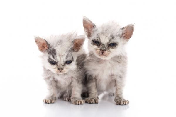 Gale chez les chats - Symptômes, traitement et contagion (AVEC PHOTOS et VIDÉO)
