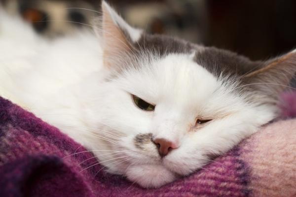 Gastrite chez les chats - Symptômes, causes et traitement
