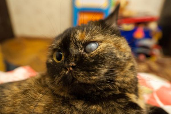 Glaucome chez le chat - Causes, symptômes et traitement