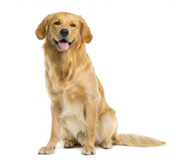Golden retriever ou golden retriever dog: caractéristiques, photos et vidéos
