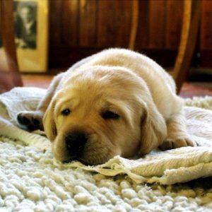 Hépatite chez les chiens - Symptômes et traitement