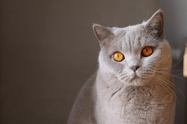 Hyperthyroïdie chez le chat - Symptômes et traitements