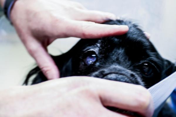 Kératite chez le chien - Types, causes et traitement (AVEC PHOTOS)