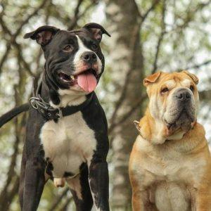 La coexistence de l'American Staffordshire avec d'autres chiens